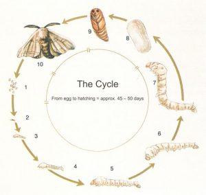 cyclus-van-de-zijdevlinder